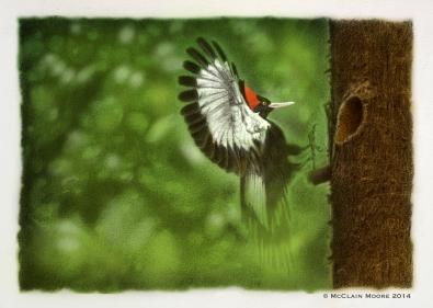 Endangered Ivory-billed Woodpecker